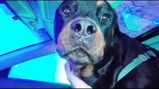 Rottweiler's first time at a car wash!|58