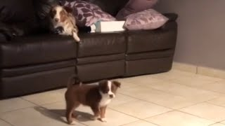 Puppy tries to jump onto sofa, results in epic fail