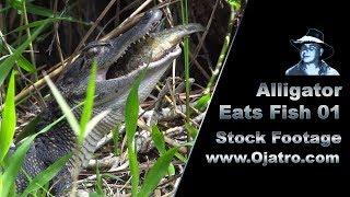 Alligator Hatchling Eats Large Fish 01 Stock Footage thumbnail