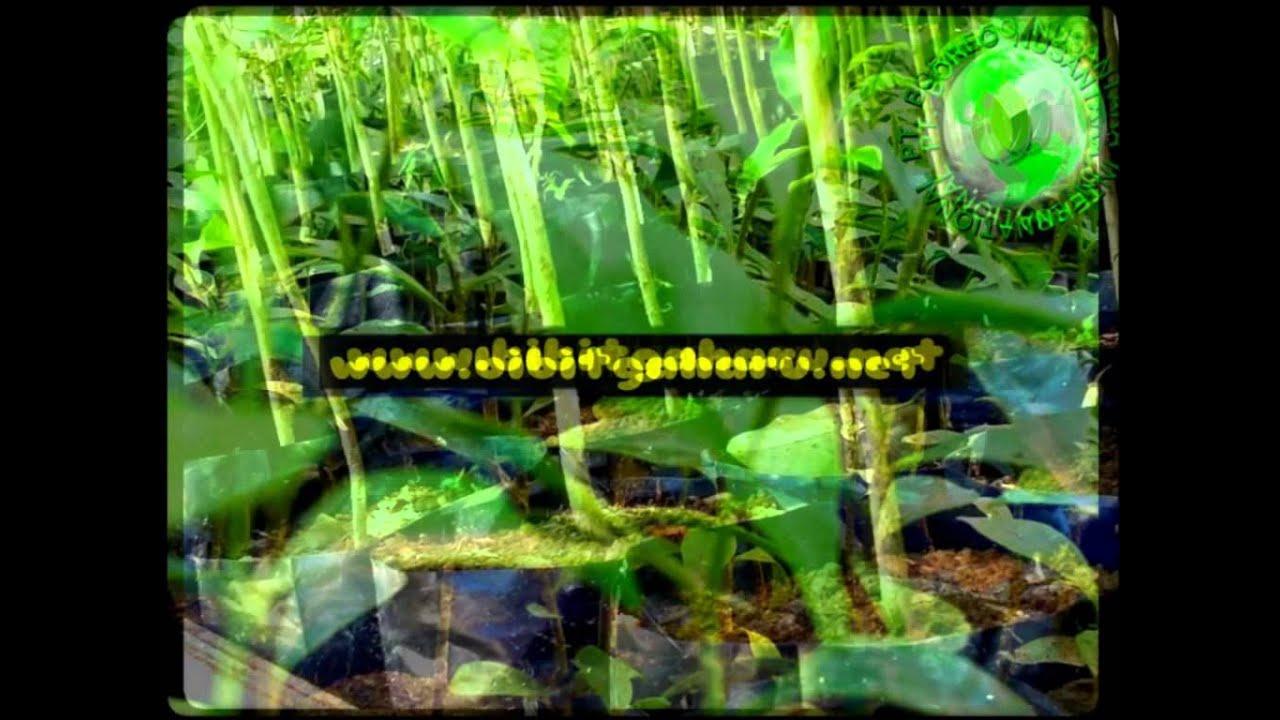 Jual Bibit Gaharu Kota manna Hub.081251826868 PT.Borneo ...