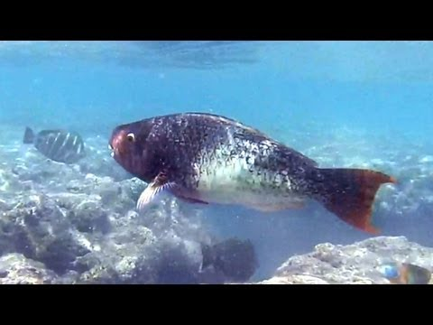 Hanauma Bay Big Fish-Uhu-Parrot Fish
