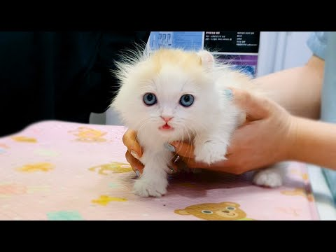 Munchkin Kitten Goes to the Hospital #Going out for First time