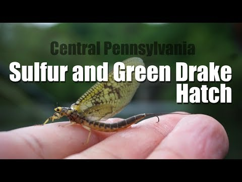 Central PA Sulfur and Green Drake Hatch