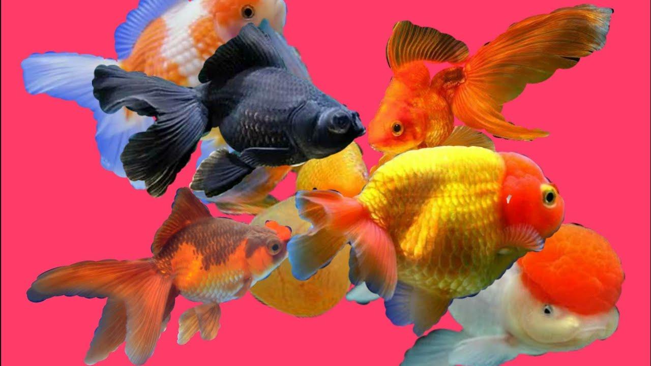 Top 08 Aquarium Beautiful Goldfish Youtube