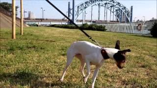 apanese terrier Nippon Terrier, Mahalo マハロ ohana オハナ 2013 0604.