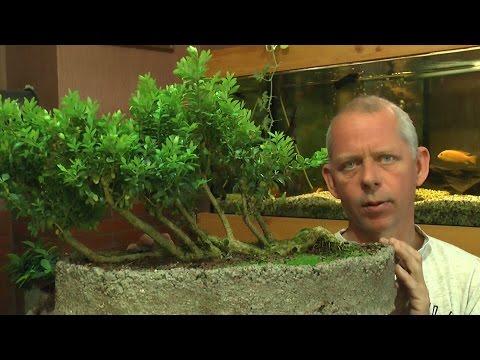 bonsai schneiden und umtopfen hydrangea doovi. Black Bedroom Furniture Sets. Home Design Ideas