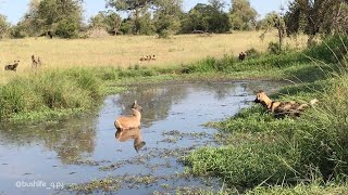 Waterbuck Calf Outwits Hungry Wild Dogs