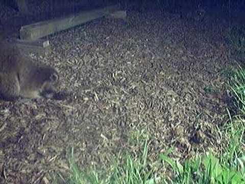 Raccoon digging in my yard - YouTube