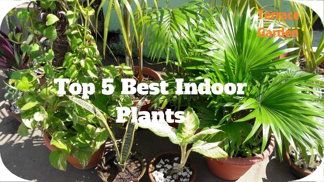 Top 5 best indoor plants easy to care and grow indoor for Best easy care outdoor plants