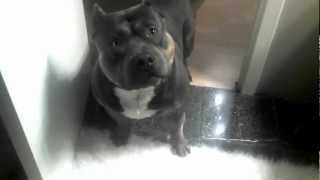 Not your average dog, American Bully/pit bull says NO to cookie!!