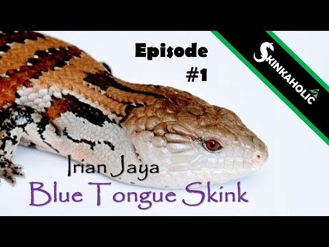 Irian Jaya Blue Tongue Skink (Tiliqua Sp.) - Ep. 1