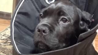 после обрезанния ушей собаке Кане Корсо Деррек, After cutting the ears of a dog Cane Corso Derrek