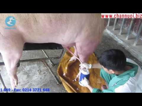0Clip hay  Lấy tinh heo   DABACO GROUP Quy trình sản xuất tinh dịch lợn 2015  2016