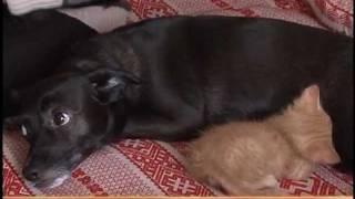 Собака помогает кошке воспитывать котят