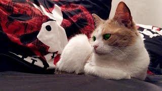 Приколы с кошками. Реакция кошки на мяуканье в ноутбуке