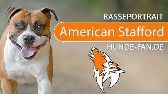 American Staffordshire Terrier [2018] Rasse, Aussehen & Charakter