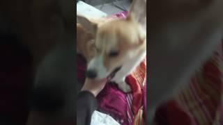 Господи! Бешенная собака корги кусает мои пальцы