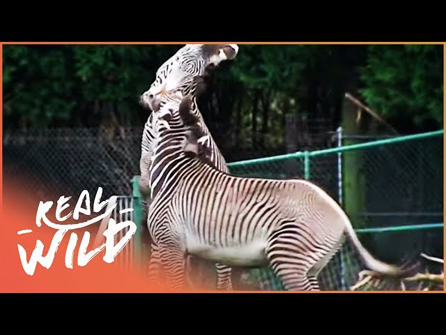 Zebra Fight For Dominance And Need To Be Split Apart | Zoo Days EP14 | Real Wild