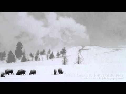 Lion Geyser and Bison Grazing