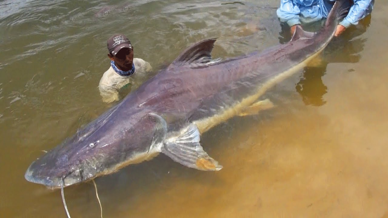 Catfish For Sale >> TOP 5 AMAZON RIVER MONSTERS - YouTube