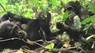 Los nuevos chimpancés Parte 1/3