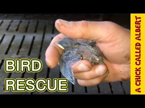 I tried to Save a baby swallow