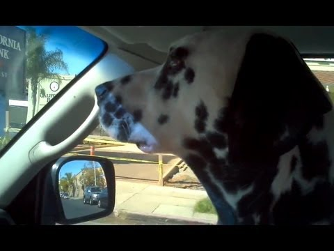 Maxwell the Dalmatian Goes to Nate's Point Balboa Dog Park 1/29/12