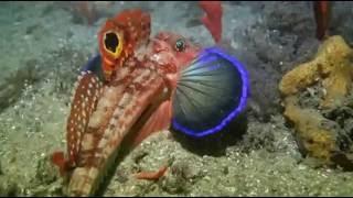 Восточной колючий морской петух - Ходячие рыбы