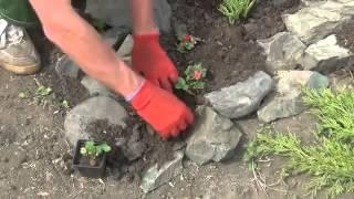 видео Альпийская горка своими руками. Правильный уход