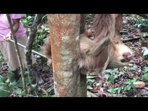 Sloth Rescue 1