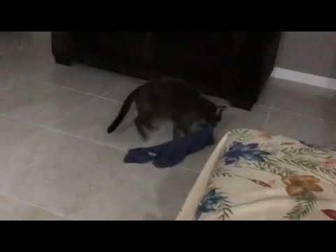 My russian blue cat brings me my shirt!