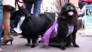Pomeranian's Day Out At Ansal Plaza, Delhi