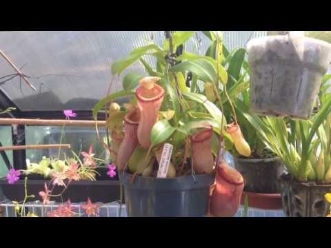 Nepenthes Carnivorous Plant :The First Nepenthes I ever owned /Easy Nepenthes for beginners