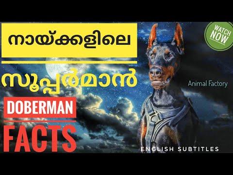 Doberman Facts | Malayalam | Animal factory