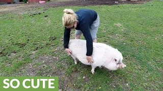 Rescued pig gets belly rubs, enjoys the good life