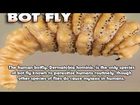 Mangoworms vs Bot Flies!  What is the Difference?