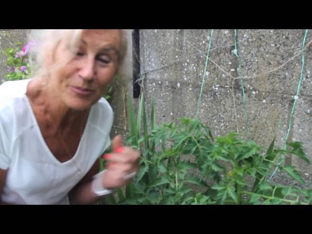 Pomidorų auginimas 2 etapas - Silvija Travel Tips