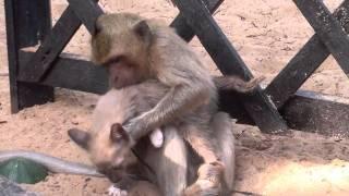 Monkey adopts a kitten!