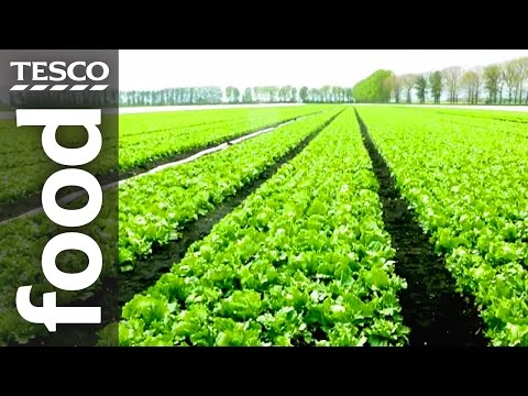 The Story of Lettuce Farming in Cambridgeshire | Tesco Food