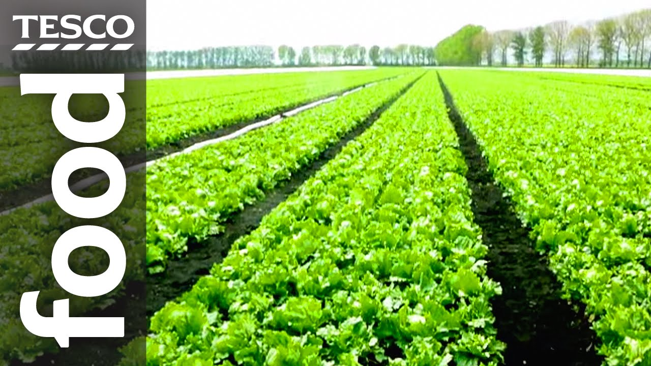 The Story Of Lettuce Farming In Cambridgeshire Tesco