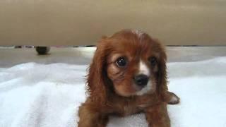 ペットディーラーロゼットの店頭の仔犬です キャバの男の子で毛色はルビ...
