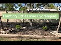 Planting a Little Lime Hydrangea🌸 | celgardens