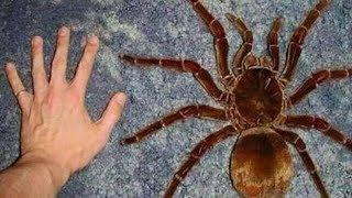 Odnaleziono największego PAJĄKA na świecie