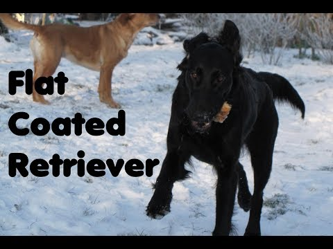 Flat Coated Retriever - Traumhund -