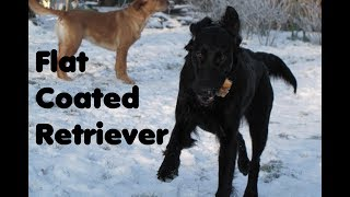Flat Coated Retriever  Traumhund