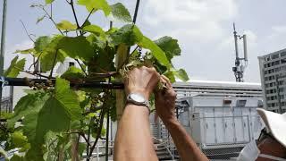 2020年5月13日「ブドウの整枝とスイカの定植」