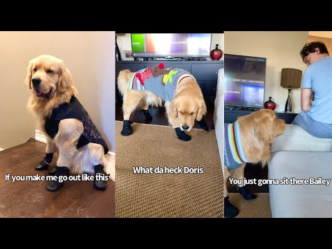 Golden Retriever hates his Snow Boots..Funny