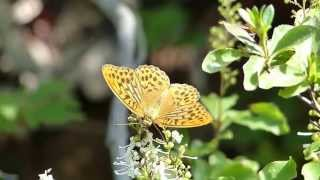 Silver-washed Fritillary on Elliottia ミドリヒョウモン♂がホツツジに訪花吸蜜