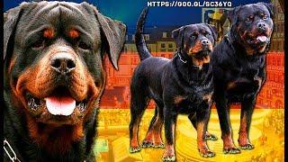 ROTWEILER | Poderoso perro para guarda, defensa y compañia