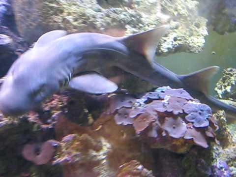 Brownbanded Bamboo Shark | Doovi